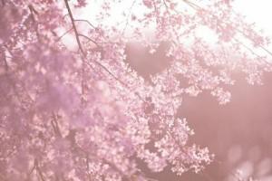 朝礼ネタ桜